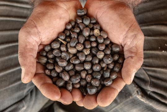 Hands full of Brazilian coffee seeds