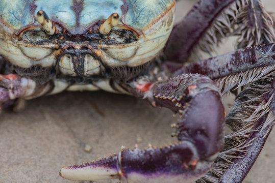 Colorful crab close-up in a mangrove of Superagui island