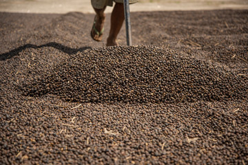 Worker traces coffee during grains drying process in southeast Brazil