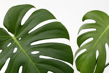 Vibrant Green Mostera Plant Leaves Against A White Background