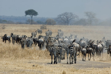Canvas Prints Zebra Zebras and Wildebeests - Tarangire National Park - Tanzania
