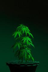 Close up of potted marijuana plant indoors