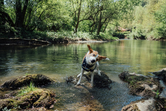Dog standing near the river and shaking out the water