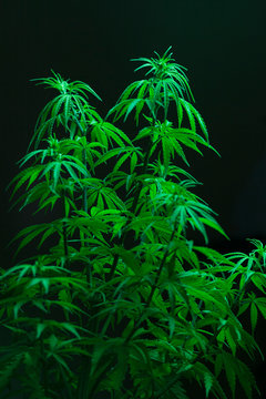 Marijuana plant shot inside a studio.