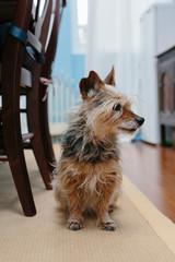 Yorkshire Terrier sitting indoors