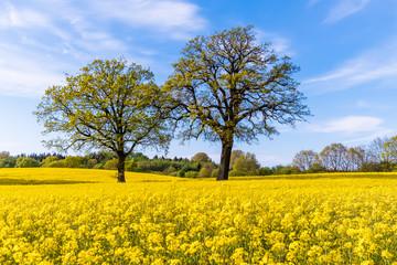 Germany, Schleswig-Holstein, Holstein Switzerland, Two trees growing in vast rapeseed field in spring