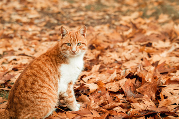 An adorable cat is enjoing the nice weahther in autumn on leaves