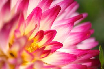 Extreme close-up of dahlia