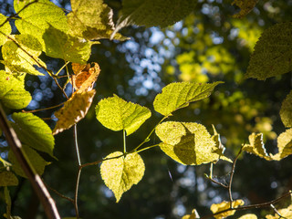 Germany, Bavaria, Upper Palatinate Forest, leaves in sunlight