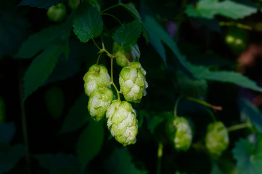 Germany, Bayern, Flowers of common hop growing in spring