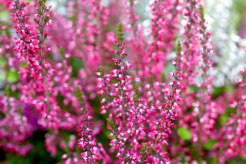 Close-up of pink heather in park