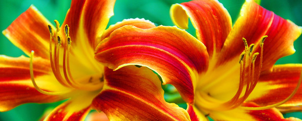 Day lilies male reproductive part of a flower is called the stamen. It is composed of a long tube, called a filament, and has a pollen-producing structure on the end.
