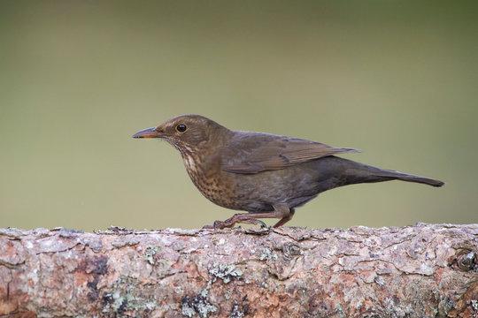 Close-up of blackbird perching on tree trunk
