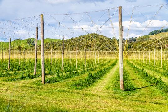 Hops field at Motueka Valley, South Island, New Zealand