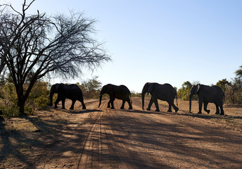 Elephants crossing dirt road against clear sky at Bwabwata National Park, Namibia