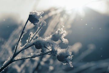 Branch of rose hip bush covered with snow among falling snowflakes in backlight. Winter image. Toned, soft focus