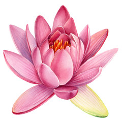 Pink lotus flower on an isolated white background, watercolor clipart, water lily