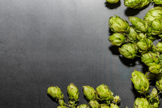 Branch of hops on a dark background. Component for making beer.