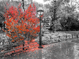 Colorful fall tree with leaves covering the ground in a black and white landscape in Washington Square Park, New York City