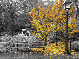 Yellow fall tree drops colorful leaves around an empty bench in a black and white cityscape scene in Washington Square Park, New York City
