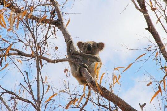 Koala 1.3