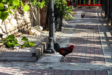 Wild chickens roaming free in Key West, Florida.