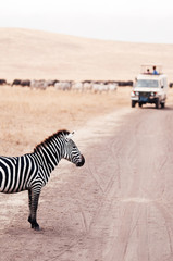 Zebra on dirt road and Safari offroad car in golden grass field in Ngorongoro consevation area, Serengeti Savanna forest in Tanzania - African safari wildlife watching trip