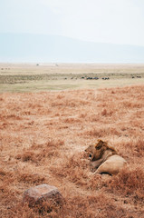 Male lion lie on golden grass field in Ngorongoro, Serengeti Tanzania Savanna forest