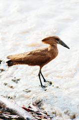 Wild African Hamerkop bird on river shore