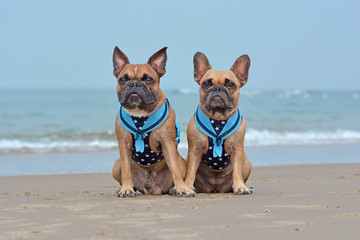 Two brown French Bulldog dogs wearing matching maritime  harnesses with sailor collars sitting on beach on vacations
