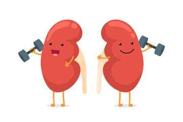 Cute cartoon smiling healthy kidney character with dumbbells. Human anatomy genitourinary system internal organ giving advice to keep active and doing fit sports vector illustration
