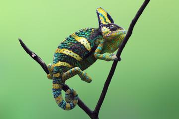 chameleon veiled