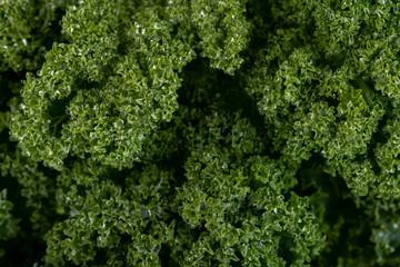Grünkohl als Makroaufnahme, frisch geerntet mit leichtem Frost