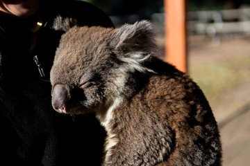 Brown baby koala sleeping on the chest of a smiling human with a blurry background