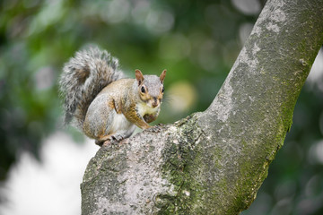 Alert grey squirrel on the trunk of a tree