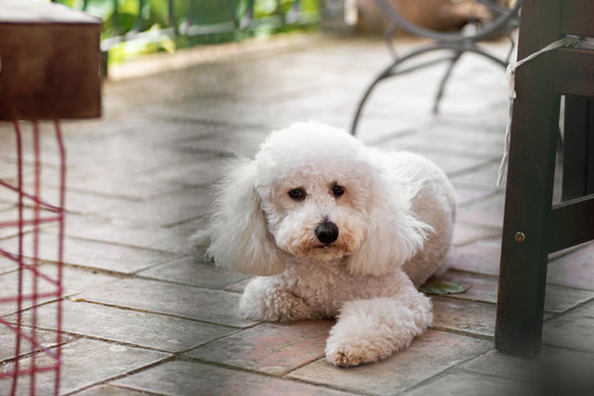 Cute little curly white poodle lying on a patio