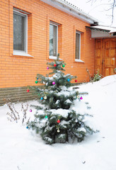 Colorado Blue Spruce Tree Covered Snow with Colorful Christmas Balls Decoration in the Garden near House