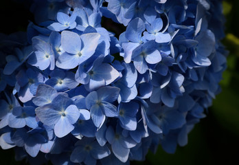 Selective focus on petal of beautiful blue Hydrangea or Hortensia flowers (Hydrangea macrophylla) under the sunlight. Nature background.