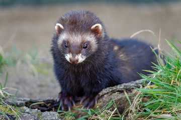 European Polecat (Mustela putorius) Enjoying the Sunshine