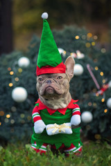 Funny lilac colored French Bulldog dog wearing a traditional cute christmas elf costume with arms holding present in front of decorated Christmas tree