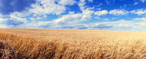 Panoramic view of a wheat field on a background of blue sky with clouds.