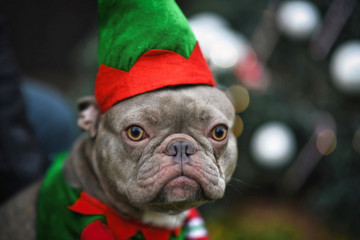 Portrait of funny lilac French Bulldog dog dressed up as christmas elf wearing costume with green and red hat and shirt