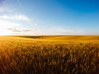 壁紙(ウォールミューラル) - Field of yellow wheat in sunlight. Location rural place of Ukraine, Europe.