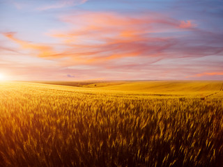 壁紙(ウォールミューラル) - Field of yellow wheat in sunlight. Location rural place of Ukraine, Europe.