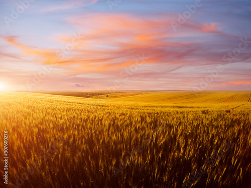 Wall mural Field of yellow wheat in sunlight. Location rural place of Ukraine, Europe.