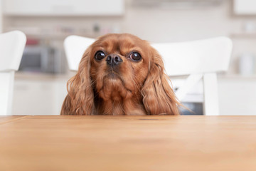 Dog behind the kitchen table