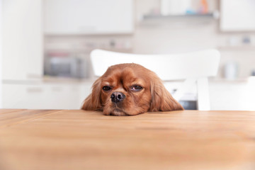 Cute dog napping behind the kitchen table