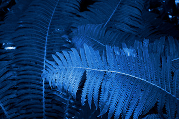 Beautiful view of fern plant in classic blue color. Forest turquoise colored fern plants.