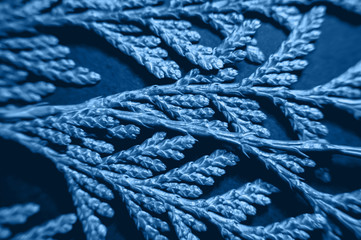 Thuja branches in trendy monochrome blue toned color on black paper background. Flat lay macro view winter themed background