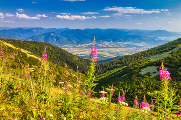 Mountainous landscape with a fireweed flowers in the foreground. The Mala Fatra national park, Slovakia, Europe.